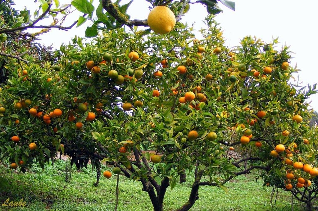 El lim n y sus propiedades curativas y beneficiosas para for Limonero sin limones
